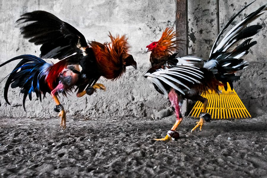 cockfighting online site